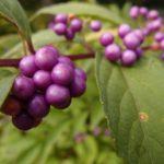 紫色の実が美しい コムラサキ