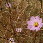 12月だといいうのに近所の川原にまだコスモスが咲いていました!
