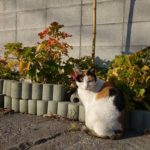 【ねこ】冬の夕方に路地の植え込みの前でじっとしているねこ