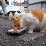 【ねこ】餌をもらって夢中で食べるねこたち。