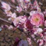 ピンクの梅がきれいに咲いていました。