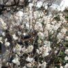 気がついたら近所に梅が咲いていました。春は確実に来てます。