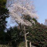 身近にある桜を撮ってみる 6