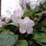 「オオイワウチワ」が咲いていました。