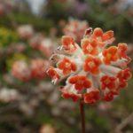 「アカバナミツマタ」が咲いていました。でも残念ながらもう終わりですかね。