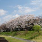 身近にある桜を撮ってみる 8