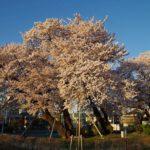 身近にある桜を撮ってみる 7
