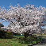 身近にある桜を撮ってみる 10