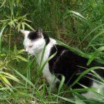【ねこ】草むらで草を食むねこ