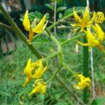 小さくて黄色い花が咲いていました。これはトマトの花です。