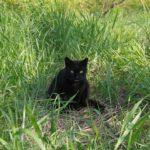 【ねこ】草むらの中で身を低くしている黒ねこ