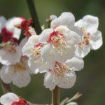 梅の花を見ようと高幡不動の界隈を散策してみた。