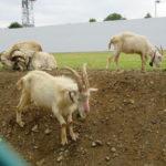 立川のみどり地区で草をモリモリ食べて除草作業をしているヤギさんたちに会ってきました。【ヤギさんの写真多数あり】