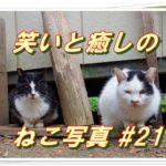 【笑い・癒し】ねこ写真まとめ Vol 21 なかなか親離れしない子猫はいつも母猫と一緒