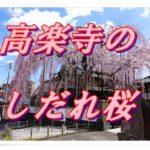 高楽寺(東京・八王子)のしだれ桜が満開。駅から近いけど地元の人しか見に来ないのでゆっくり桜を愛でる。