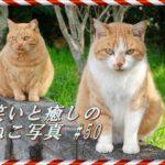 【ねこ】ねこ写真まとめ Vol 50 白髪がおしゃれな黒猫。爪とぎに集中できない猫。ご機嫌な三毛猫。体形ができあがっている猫。上目づかいの猫