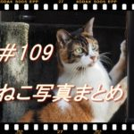 【ねこ 画像】ねこ写真まとめ Vol 109 草むらの中につづく猫の道。すぐ逃げるハチワレ猫。壁をガリガリする三毛猫。目を細めるモコモコ茶トラ。こっちをにらむ黒猫。
