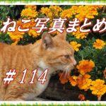 【ねこ 画像】ねこ写真まとめ Vol 114 道端で大あくびする白黒猫。花に顔を寄せるキジトラ猫。見返り美人の白猫。硬い表所の二匹のハチワレ猫。白髪が目立つ白黒猫。