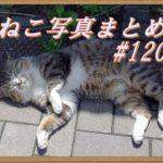 【ねこ 画像】ねこ写真まとめ Vol 120 耳をピクピクさせて、こっちを「ジロッ」とにらむ三毛猫。不安定な棚の上に陣取っている茶トラ。ライオンのような顔の猫たち。立ったまま寝てる猫。