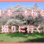 中峯一本桜を撮りに行きました。所沢、狭山丘陵。どっしりとした幹と枝に満開の桜花。