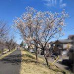 【八王子】浅川沿いで桜が咲いているのを見つけました。いよいよ開花のはじまりか!