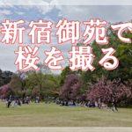 やっと開園した新宿御苑で桜を撮る。閉まっている間にソメイヨシノは終わってしまったよ。でも八重桜がきれいに咲いていました。