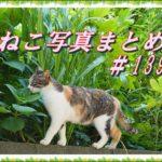 【ねこ 画像】ねこ写真まとめ Vol 139 まったり休憩中のハチワレ猫。近づいてくるもこもこ三毛猫。眠そうな顔をして歩く猫。黄色い目で遠くを見る黒猫。